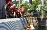 Vigili del Fuoco salvano una mucca caduta nel Canale Regina Elena