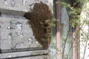 Sciame d'api in una scuola lungo Baluardo Partigiani