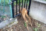 Capriolo incastrato in una recinzione: liberato dai Vigili del Fuoco