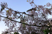 Popilia Japonica: torna l'insetto nocivo che