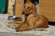 Collare elettrico per addestrare il cane: denunciato il proprietario