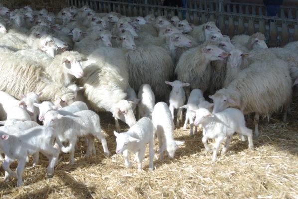 furto notturno ovini