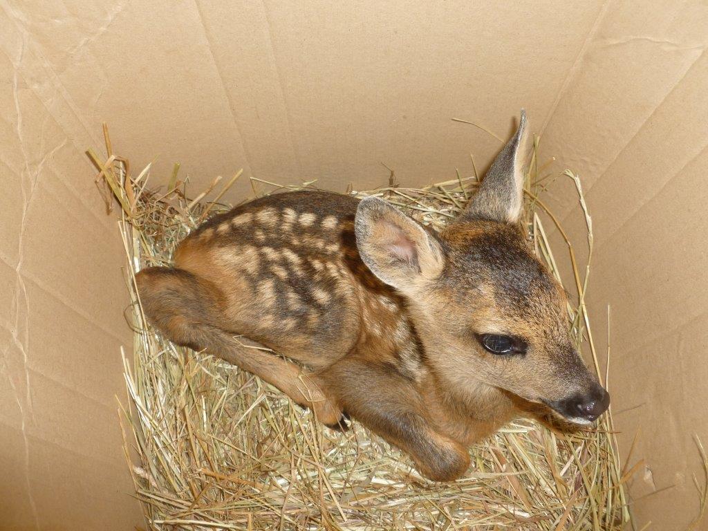 La storia di Fortuna, il cucciolo di cervo salvato dalle guardie Anpana