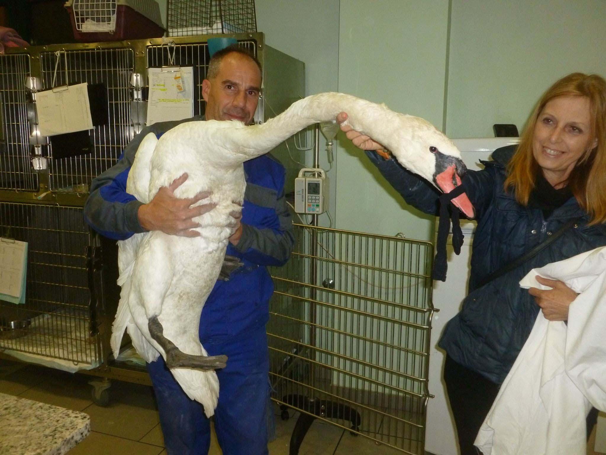Cigno reale salvato dai binari, curato e rimesso in libertà
