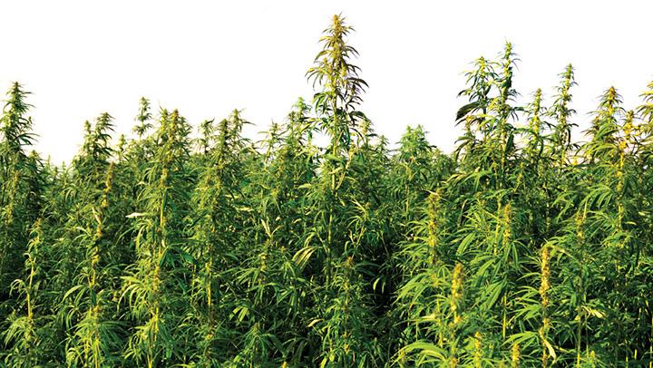 In Piemonte, autorizzata la cannabis per uso terapeutico