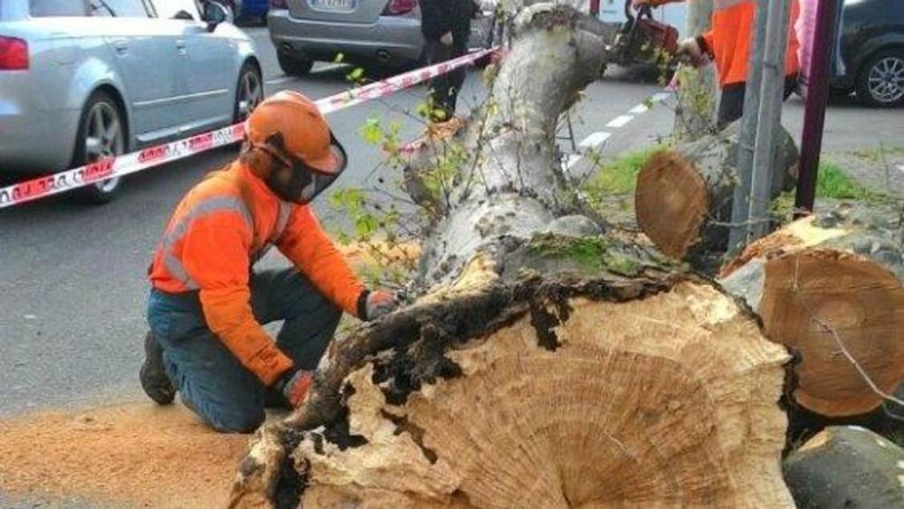 A Trecate, cade un platano in via Macallè. Controlli sul patrimonio arboreo
