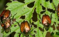 Lotta alla popillia japonica, l'insetto che devasta le piante nell'Ovest Ticino