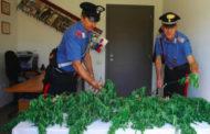 Sorpreso a coltivare piantine di marijuana: arrestato dai Carabinieri di Lesa