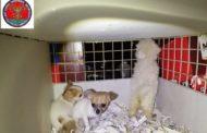 Furgone con cuccioli dall'Ungheria fermato a Novara Est