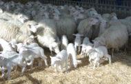 Furto notturno: rubati una cinquantina di ovini