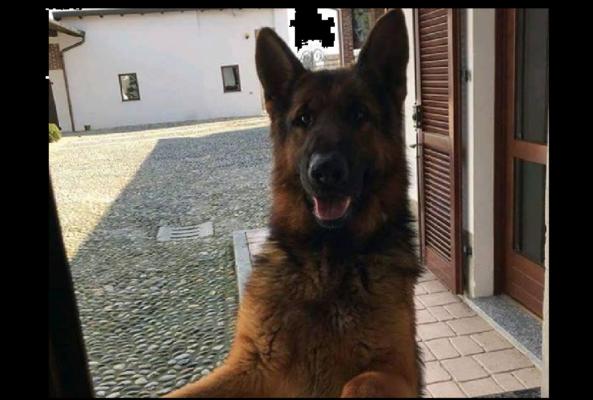 Rey pastore tedesco salvato Trecate Vigili del Fuoco di Novara