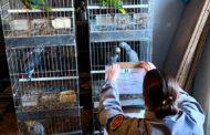 """Oleggio: Operazione """"Giacinto"""", sequestrati 40 pappagalli"""