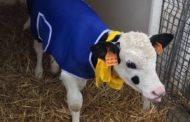 Temperature in calo nel novarese e nelle stalle arriva il cappotto per i vitelli