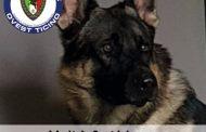 Il cane Baldo in servizio anche a Novara