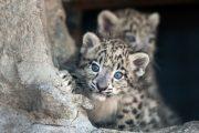Cuccioli di leopardo delle nevi nati ad Agrate Conturbia