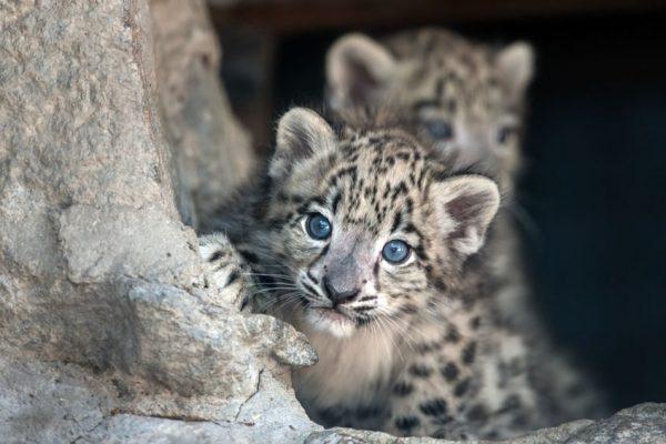 Cuccioli di leopardo